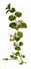 Gundermann Glechoma hederacea Echte Gundelrebe