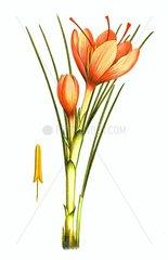 Echter Safran Crocus Sativus Giftpflanze