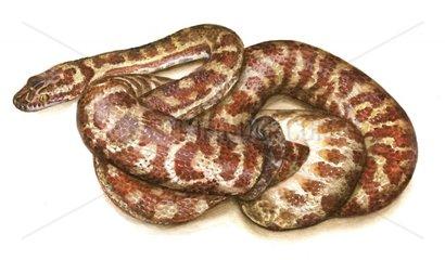 Stimsons Python Antaresia stimsoni