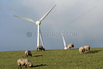 Emden  eine Schafsherde am Deich bei Emden mit dem Windpark Wybelsuner Polder im Hintergrund