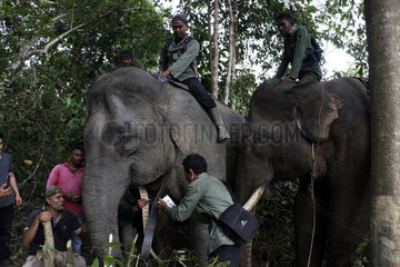INDONESIA-ACEH-SUMATRAN ELEPHANT-GPS COLLAR-INSTALLATION