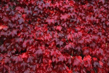 Gaggenau  Deutschland  Herbstlaub der Dreispitzigen Jungfernrebe
