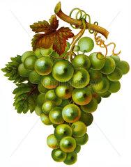weisse Weintrauben  um 1900