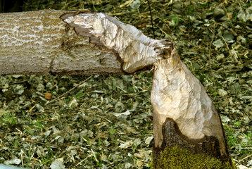 von Bibern gefaellter Baum