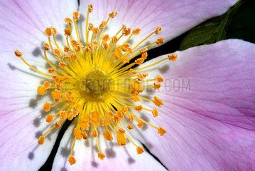 Pollen  Bluete  Heckenrose