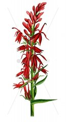 American medicinal plants New York Boericke & Tafel c1887. http://www.b