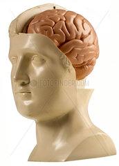 menschliches Gehirn  Schaumodell  1974