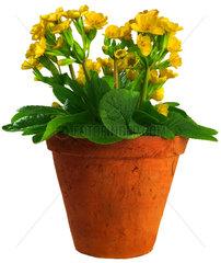 Schluesselblume  Blumentopf