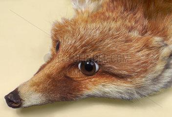 alter Fuchspelz  50er Jahre