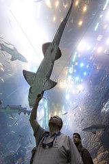 Dubai  Vereinigte Arabische Emirate  Mann betrachtet einen Hai im Dubai Aquarium der Mall of Dubai