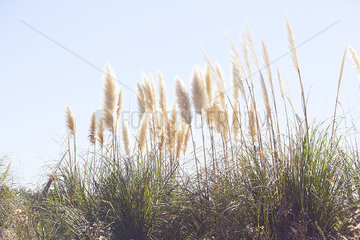 Pampas grass swaying in wind against blue sky