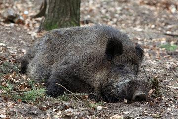 Neuruppin  Deutschland  ruhendes Wildschwein