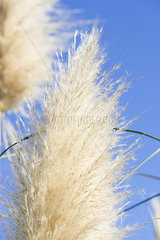 Pampas grass seedhead  close-up