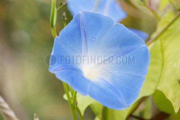 Morning glory flower  close-up