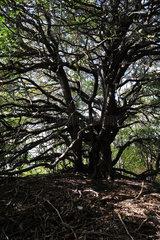 Kloster  Insel Hiddensee  Deutschland  verzweigter Baum bei Kloster