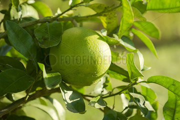 Lime growing on tree  close-up