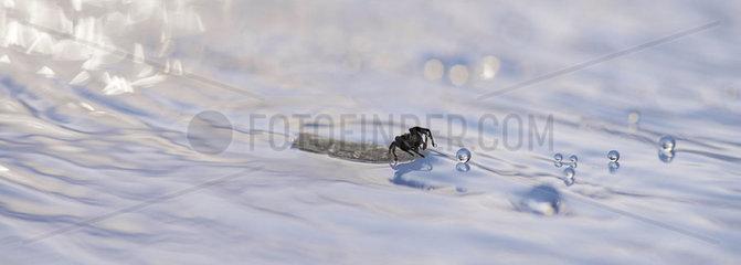 Spider floating on debris in water