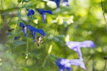 Bee gathering pollen on salvia flower