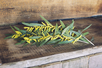 Cut branches of Sydney golden wattle (Acacia longifolia)