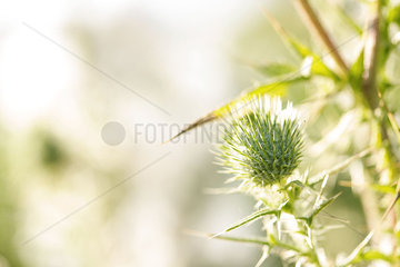 Thistle  close-up