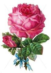 Rose  um 1885