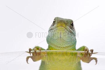 Green lizard looking at camera