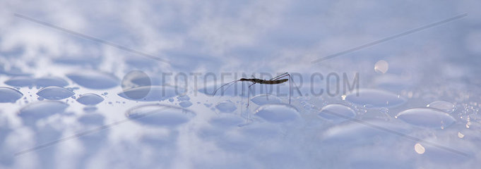 Water strider on water surface