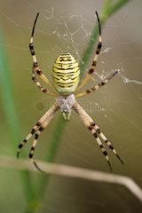 Banded argiope spider (Argiope trifasciata)