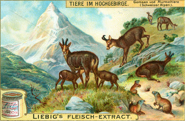 Tiere im Hochgebirge  Alpen  um 1900