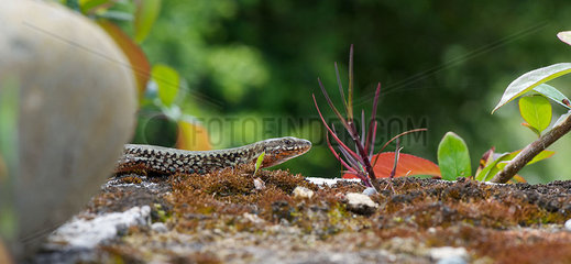 Skink in nature