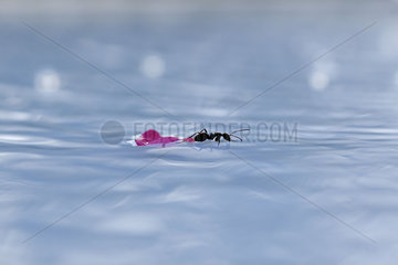 Ant and flower petal on surface of water