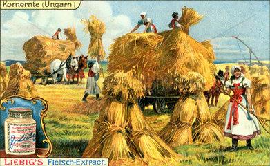 Kornernte in Ungarn  um 1900