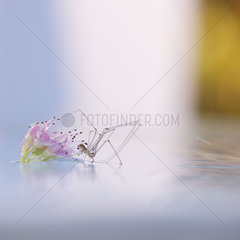 Spider stepping from flower to surface of water