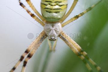 Banded argiope spider (Argiope trifasciata)  close-up