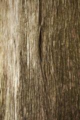 Cedar tree trunk  close-up