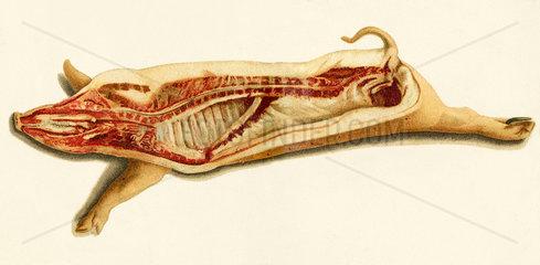 Schweinehaelfte  um 1905