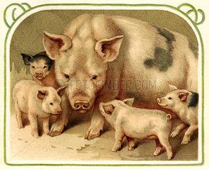 Schweine  1902