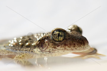 Toad half-submerged in water  close-up