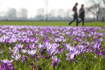 Duesseldorf  Deutschland  Duesseldorfer Krokusbluete  bluehende Kroskusse im Rheinpark