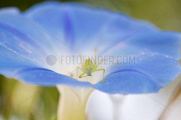 Grasshopper on morning glory flower
