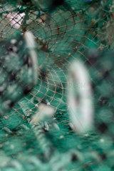 Lysekil  Schweden  Reusen im Fischereihafen