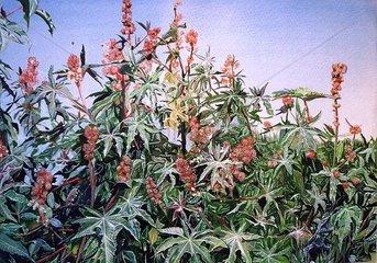 Rizinus Pflanze