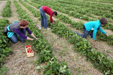 Werl  Deutschland  Frau und Kinder pfluecken Erdbeeren auf einem Feld