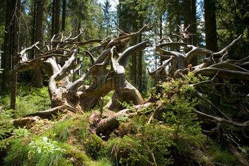 Triberg  wilde Baumwurzeln von umgefallenen Baeumen