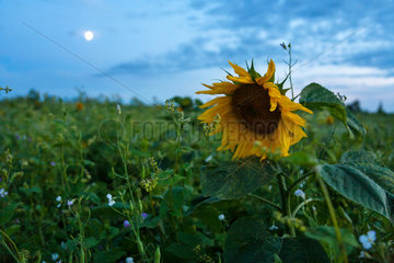 Zahren  Deutschland  Sonnenblumenfeld im Mondschein