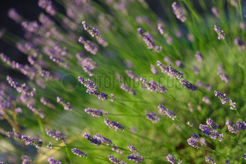 Callas  Frankreich  bluehender Lavendel