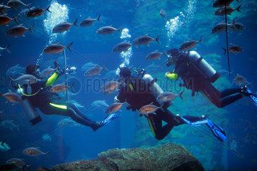 Dubai  Vereinigte Arabische Emirate  Taucher im Dubai Aquarium der Mall of Dubai