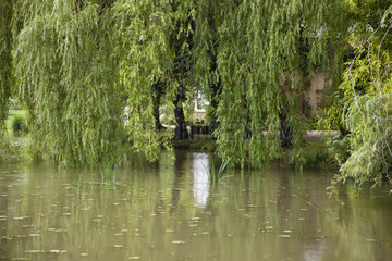 Willow trees growing beside pond