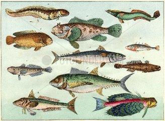 Schautafel Fische  1870