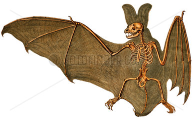 Langohrige Flederaus  Skelett mit Flughaut  1898